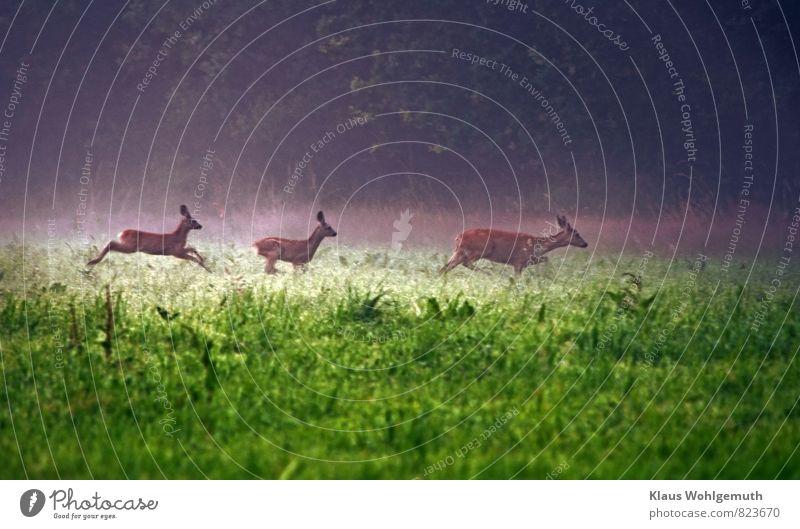 Morgennebel 3 ( Ab ins Unterholz ) Umwelt Natur Landschaft Tier Nebel Gras Wiese Wald Reh Rehkitz Ricke Tiergruppe Tierjunges Tierfamilie blau braun grau grün