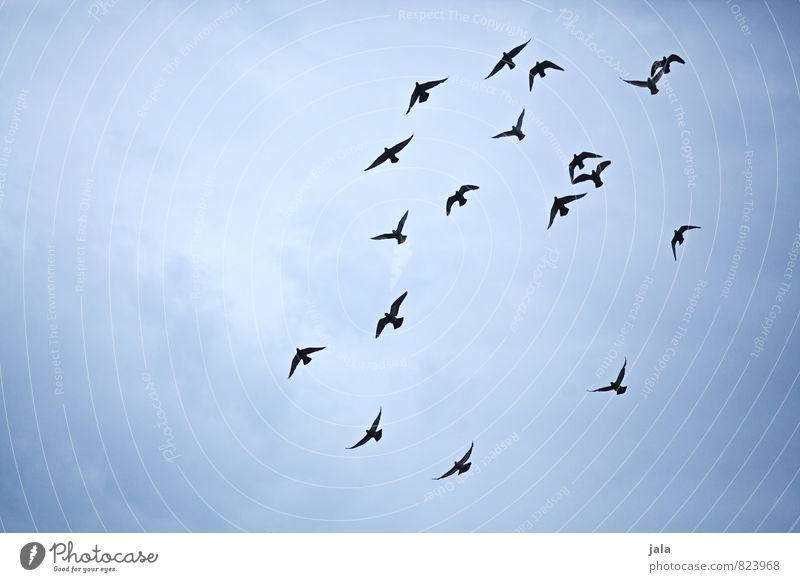 vögel Himmel Tier Wildtier Vogel Taube Tiergruppe Schwarm fliegen ästhetisch Farbfoto Außenaufnahme Menschenleer Hintergrund neutral Tag