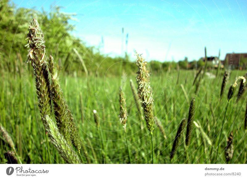 Feld Natur grün Gras frei Spaziergang Korn