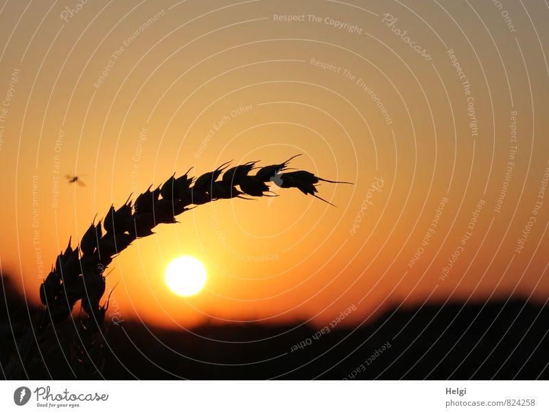 Abendsonne... Umwelt Natur Landschaft Pflanze Himmel Wolkenloser Himmel Sommer Schönes Wetter Nutzpflanze Getreide Weizen Ähren Feld leuchten Wachstum