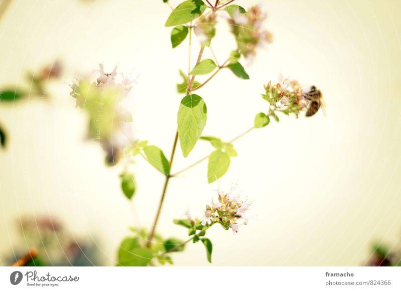 bee on oregano Natur Pflanze schön grün Erholung ruhig Tier Umwelt gelb Gesunde Ernährung Leben Blüte Glück Gesundheit Garten Wachstum