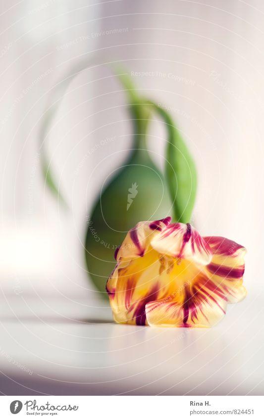 DarNieder grün rot Blume gelb liegen Stillleben Tulpe Erschöpfung Vase flau
