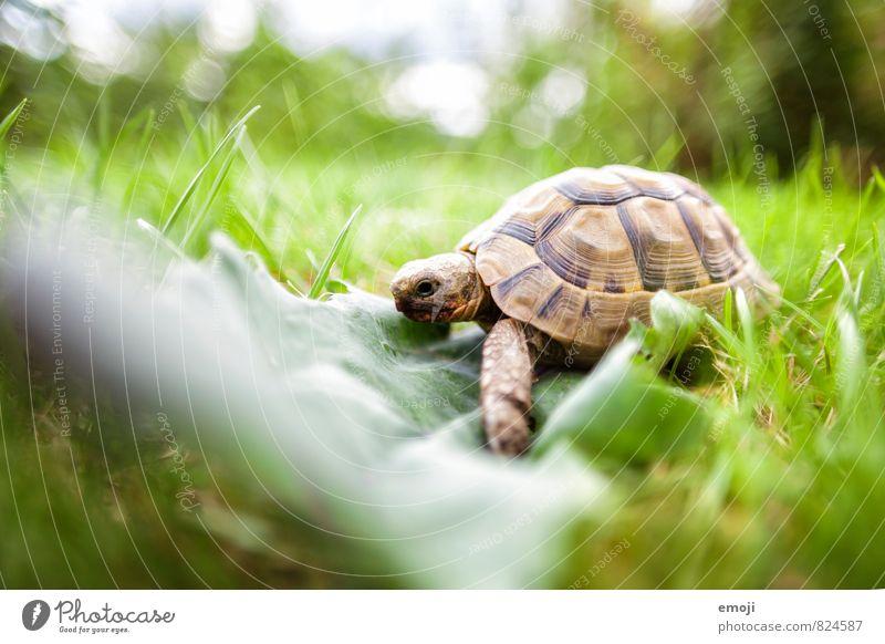 Schildkröte Umwelt Natur Gras Blatt Tier Haustier 1 natürlich grün Farbfoto Außenaufnahme Nahaufnahme Menschenleer Tag Schwache Tiefenschärfe Ganzkörperaufnahme