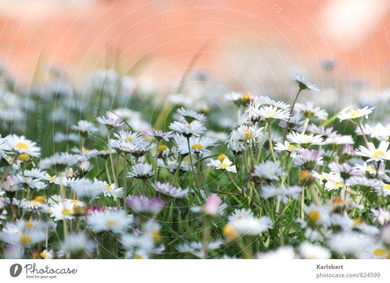Sommerwiese Gesundheit Garten Umwelt Natur Pflanze Frühling Schönes Wetter Blume Gras Gänseblümchen Park Wiese erleben Blumenwiese Farbe Farbenspiel Duft frisch