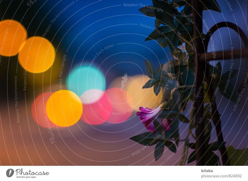 Königin der Nacht Pflanze Sommer Blume Stadt blau gelb violett rot Licht Kreis Strukturen & Formen Farbfoto Außenaufnahme Experiment abstrakt Muster