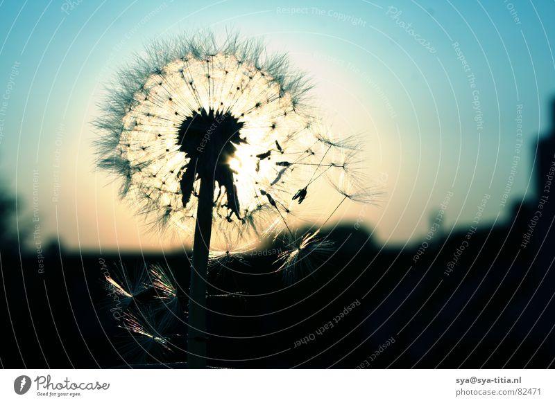 Pusteblume Himmel Sonne blau Löwenzahn Abenddämmerung verblüht Blume