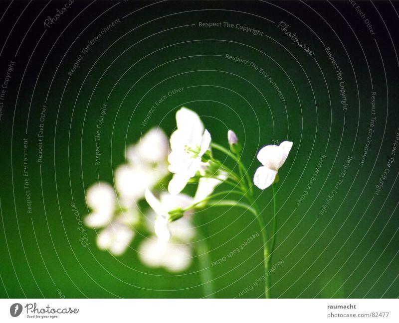 Wiesenschaumkraut Pflanze Blume grün Waldwiese Wildpflanze Wiesen-Schaumkraut Heilpflanzen