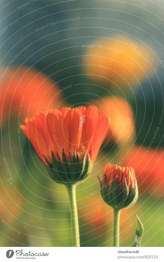 Wie gemalt Umwelt Natur Pflanze Sommer Blume Blüte Nutzpflanze Ringelblume Garten Blühend schön orange Gesundheit Arzneipflanze Heilpflanzen Pharmazie