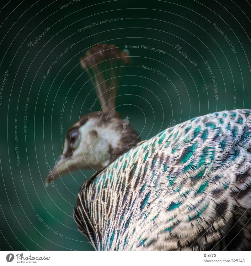 Pimp my Peacock blau schön grün weiß Sommer Tier schwarz feminin natürlich grau außergewöhnlich braun Vogel Park elegant leuchten