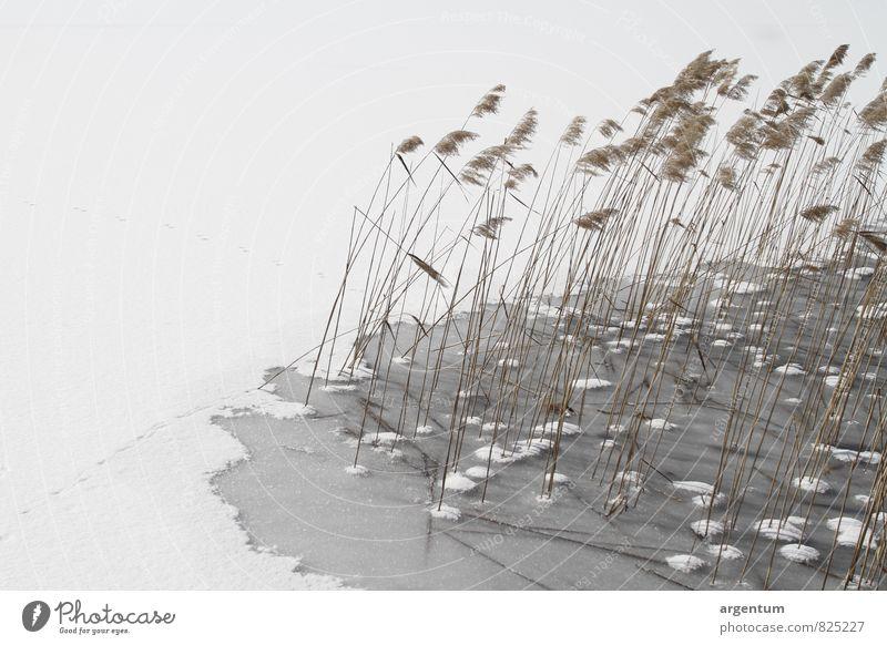 wintergras Natur Pflanze Wasser Winter Klima Wetter Schönes Wetter Eis Frost Schnee Gras Wildpflanze Küste Seeufer Kristalle Stimmung Romantik schön