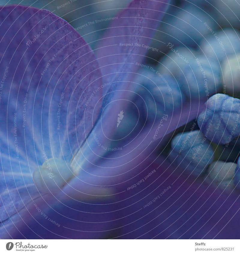 Hortensienvolk Natur blau Pflanze schön Sommer Blume Blüte ästhetisch Blühend Romantik violett Blütenknospen Juli Blauton Gartenpflanzen