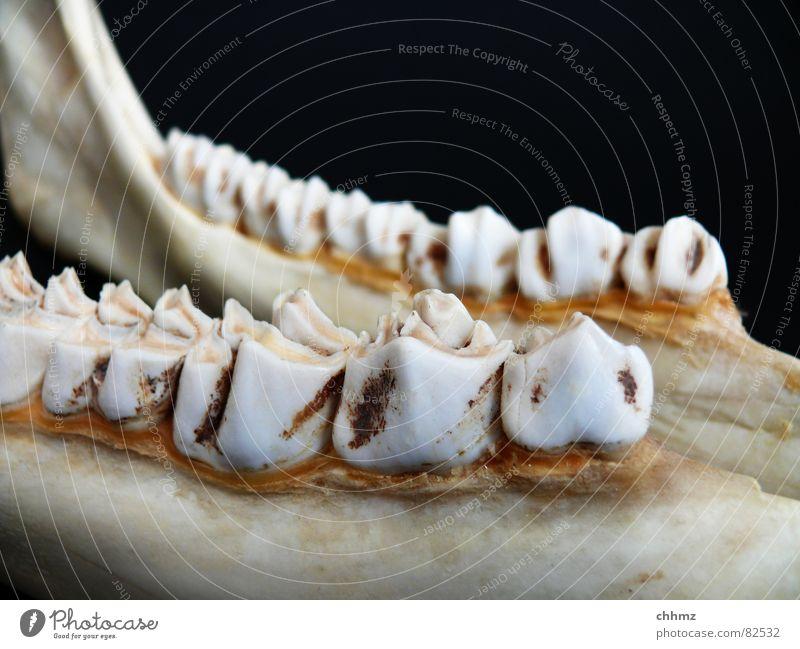 Kiefer Ernährung Beine Bodenbelag Zähne Säugetier Wange Zahnarzt Skelett Elch Wiederkäuer Unterkiefer Zähneknirschen Zahnhals