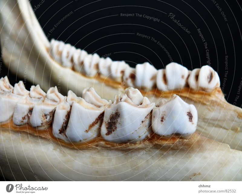 Kiefer Unterkiefer Zähne Zahnhals Skelett Elch Wiederkäuer Ernährung Wange Zahnarzt Beine Säugetier malmen Kinnbackenknochen Bodenbelag zahnbelag Zähneknirschen