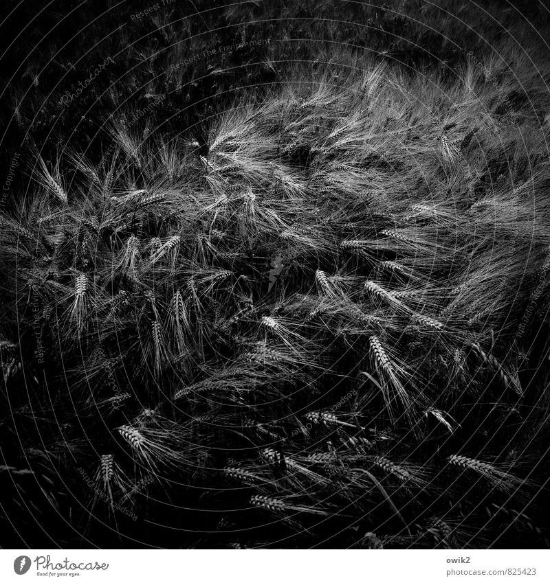 Wellengang Umwelt Natur Wind Sturm Pflanze Gerste Landwirtschaft Kornfeld Ähren Bewegung Wachstum bedrohlich dunkel authentisch natürlich Todesangst Risiko