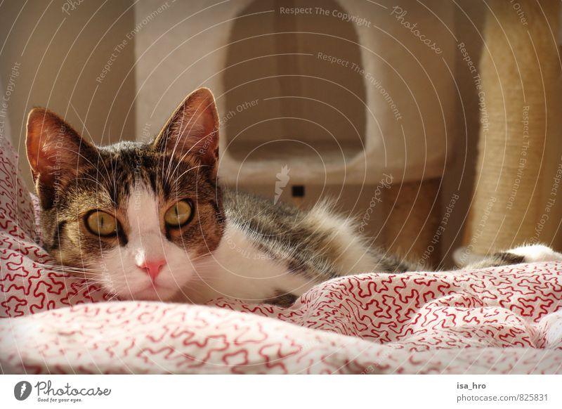 Wacher Blick Tier Haustier Katze Tiergesicht 1 Entschlossenheit Erholung Zufriedenheit Bettdecke Farbfoto Innenaufnahme Tierporträt Blick in die Kamera