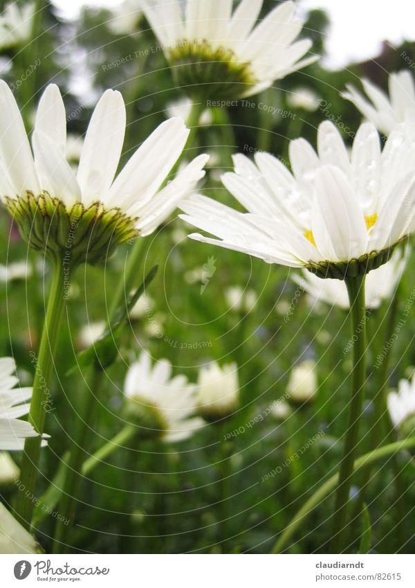 Blick nach oben Margerite Blume Wiese grün Richtung Sommer Blumenwiese Blüte Gras Hauptrichtung Regen Rasen in einer richtung mit