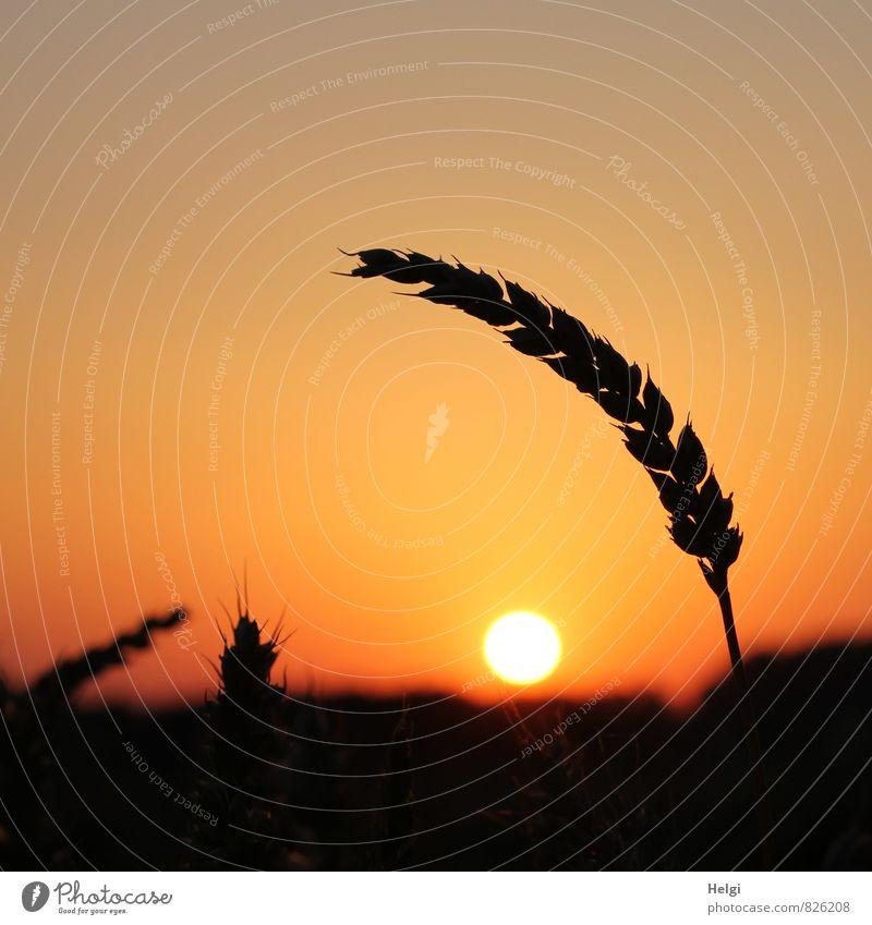 noch ´n Korn... Umwelt Natur Landschaft Pflanze Himmel Sonne Sommer Schönes Wetter Nutzpflanze Getreide Weizen Ähren Kornfeld leuchten stehen Wachstum