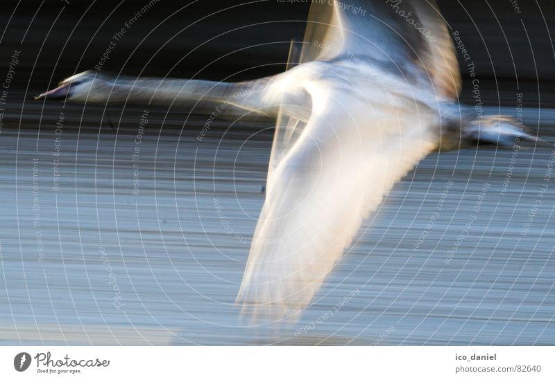 flieeeeeeeeg!!! - Schwan Natur Umwelt Vogel fliegen Fotografie Geschwindigkeit Flügel Macht Fluss München Schwan Tier Wildnis flattern Entenvögel Isar