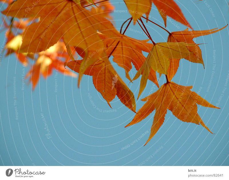 FÜR FR.LUEDERS Umwelt Natur Landschaft Pflanze Luft Himmel Wolkenloser Himmel Herbst Klima Schönes Wetter Baum Park gold Herbstlaub Ahorn Oktober Herbstbeginn