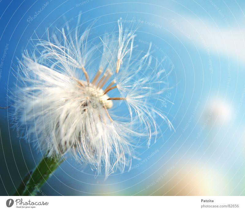 so zart Saatgut Löwenzahn Blume Blumenwiese Frühling Sommer blasen klein Wolken Wiese Gras zerbrechlich Bergwiese sensibel Makroaufnahme Nahaufnahme Blumensamen