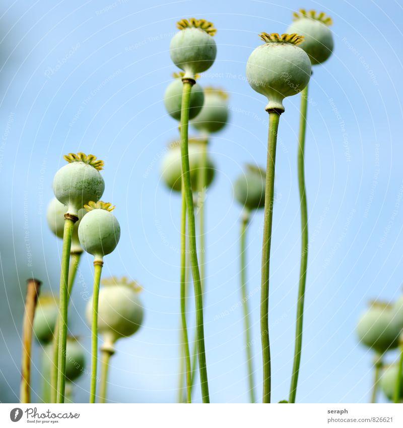 "Mohn verdorrt welk Samen Kerne Saatgut """"seed vessel"""" Blume Natur Nahaufnahme Blütenblatt Pflanze Garten Wiesenblume head gedeihen Blühend Stengel geblümt"