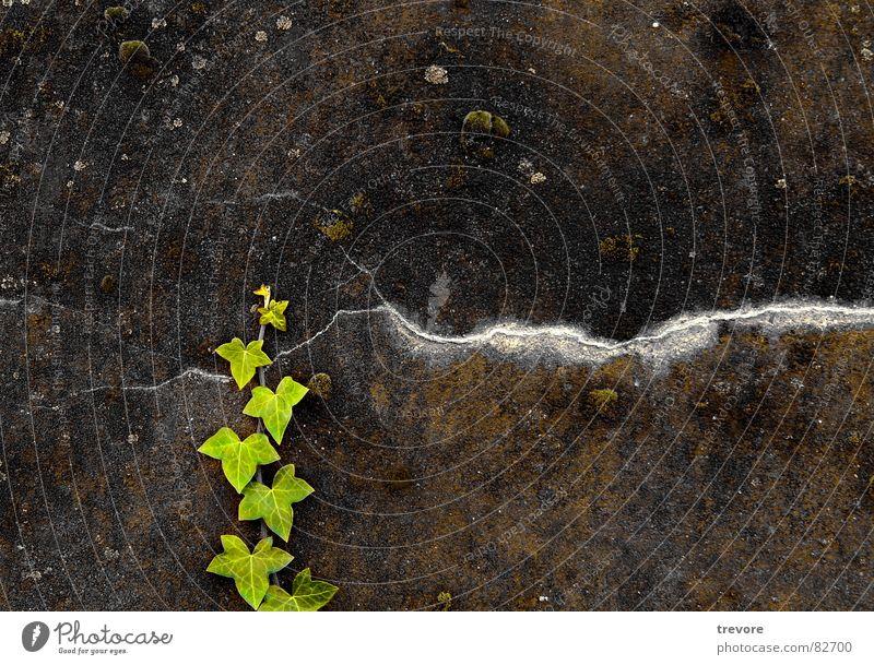 Green Natur grün Pflanze Wand Mauer Kraft Wandel & Veränderung Vergänglichkeit Grenze Verfall gebrochen gestellt Efeu Lebenskraft