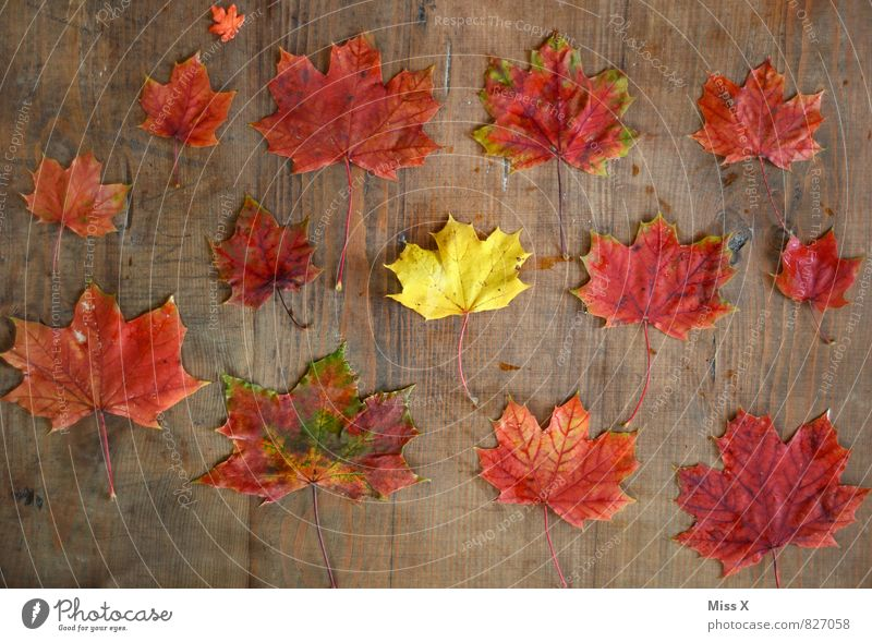 Sammlung Freizeit & Hobby Basteln Umwelt Natur Herbst Blatt gelb rot Farbe Kreativität Ahornblatt Bastelmaterial Herbstlaub Holz Herbstfärbung Herbstbeginn