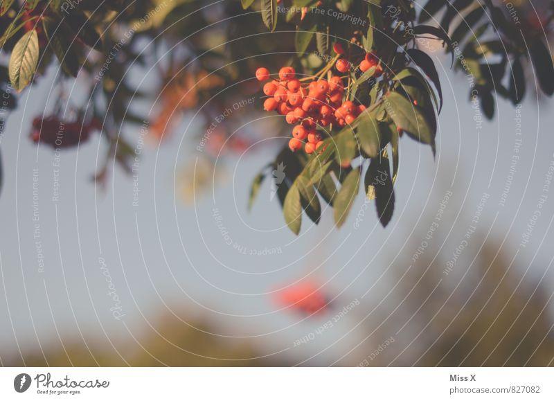 Vogelbeere Frucht Garten Umwelt Natur Wolkenloser Himmel Herbst Baum Sträucher Park rot Ebereschenblätter Vogelbeeren Vogelbeerbaum Beeren herbstlich