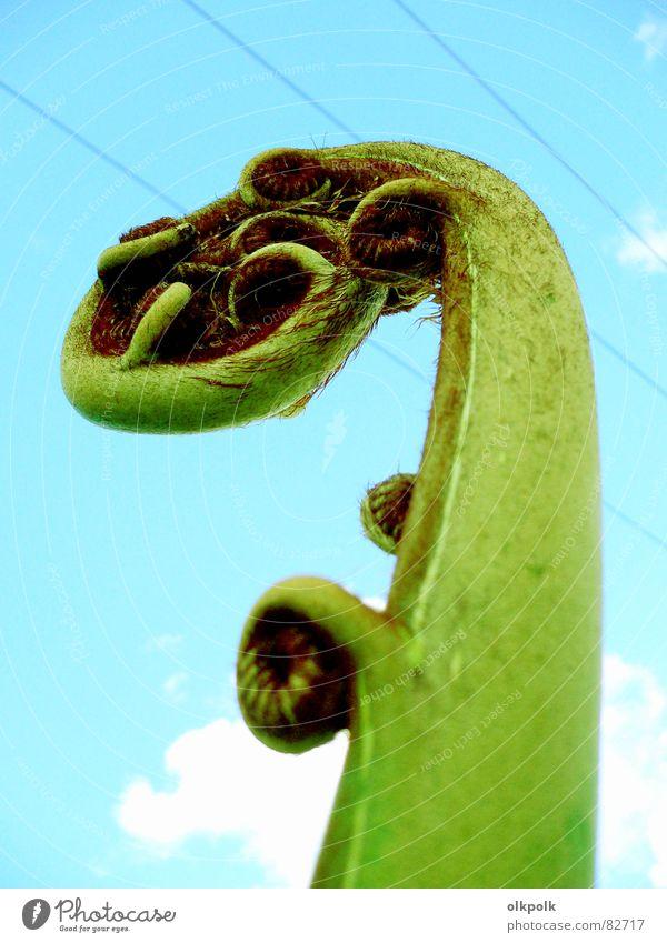 schnörkelig Pflanze Blume grün türkis Kabel Wolken rund Neuseeland Botanik Kletterpflanzen Echte Farne blau Himmel Rolle Leitung kabelführung Natur