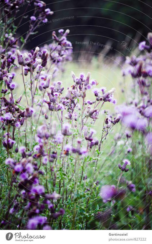 Käferperspektive Natur Pflanze Sommer Blume Landschaft Umwelt Wiese Gras Blüte Garten Feld violett Wiesenblume Distel Distelblüte Distelblatt