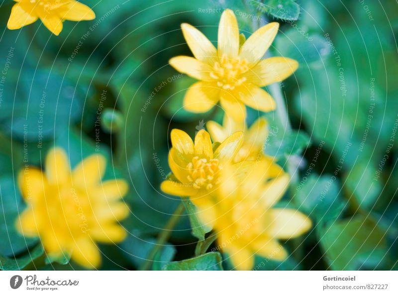 Scharbockskraut Pflanze schön grün Sommer Blume Wald gelb Blüte Waldblume