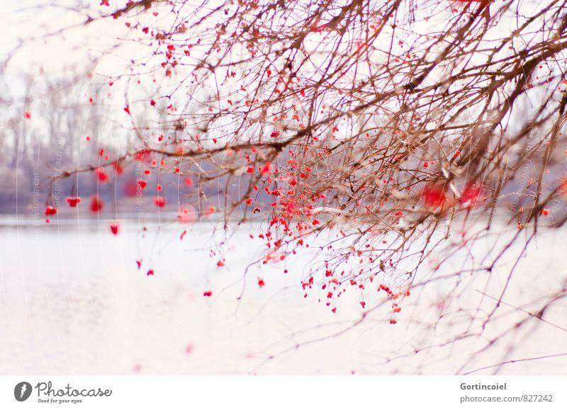 Naturschönheit Umwelt Landschaft Pflanze Winter Schönes Wetter Baum Sträucher Wald Seeufer rot Beeren Beerensträucher Ast Gemeiner Schneeball Farbfoto