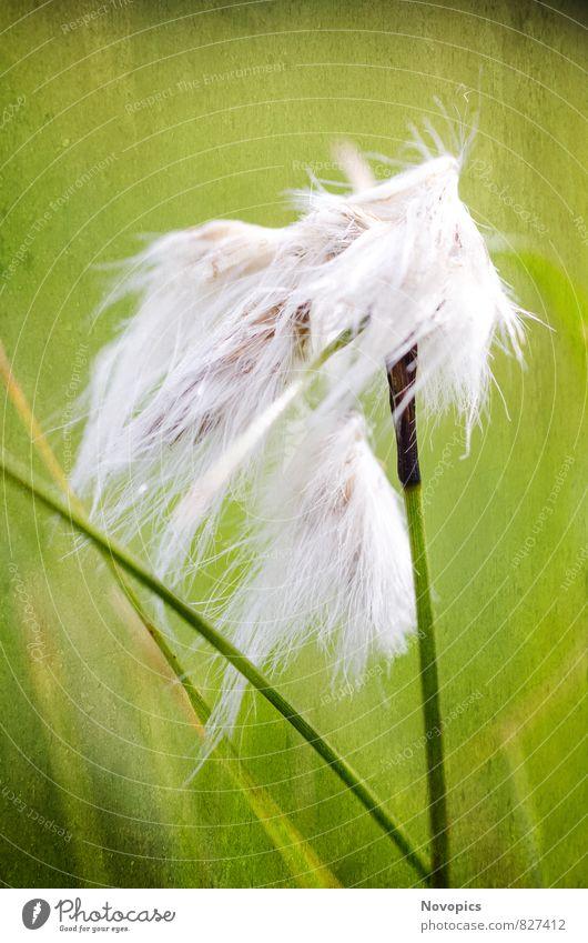common cottongrass Natur Pflanze grün weiß Landschaft Gras Dekoration & Verzierung planen Stengel Botanik Stillleben Hochformat Wollgras