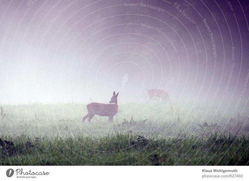 Morgennebel 5 ( War wohl nichts schlimmes ) Umwelt Natur Tier Sommer Herbst Nebel Gras Wiese Feld Wald Reh Damwild Ricke 2 beobachten Fressen stehen saftig blau