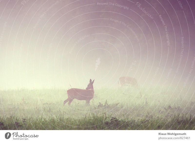Morgennebel 6 ( Vorsicht ist die Mutter..... ) Natur blau grün weiß Sommer Tier Wald Umwelt Wiese Gras grau braun Park Feld Nebel Wildtier