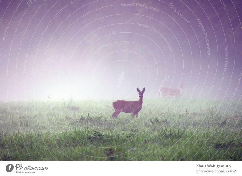 Morgennebel 4 ( Was klickt denn da?) Umwelt Natur Landschaft Tier Wassertropfen Sommer Nebel Gras Grünpflanze Wiese Feld Wald Wildtier Fell Reh Ricke Damhirsch