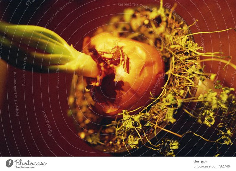 Verzwiebelt Pflanze Erde Lebensmittel Wachstum Ernährung Kochen & Garen & Backen Küche Blühend Gemüse Gastronomie Kräuter & Gewürze feucht Mahlzeit Blütenknospen Botanik Topf