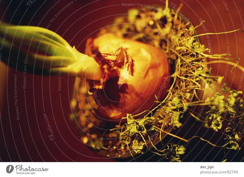 Verzwiebelt Verdrängung Basilikum kochen & garen Topf Pflanze Topfpflanze sprießen Wachstum feucht Vegetarische Ernährung Lebensmittel Mahlzeit Botanik
