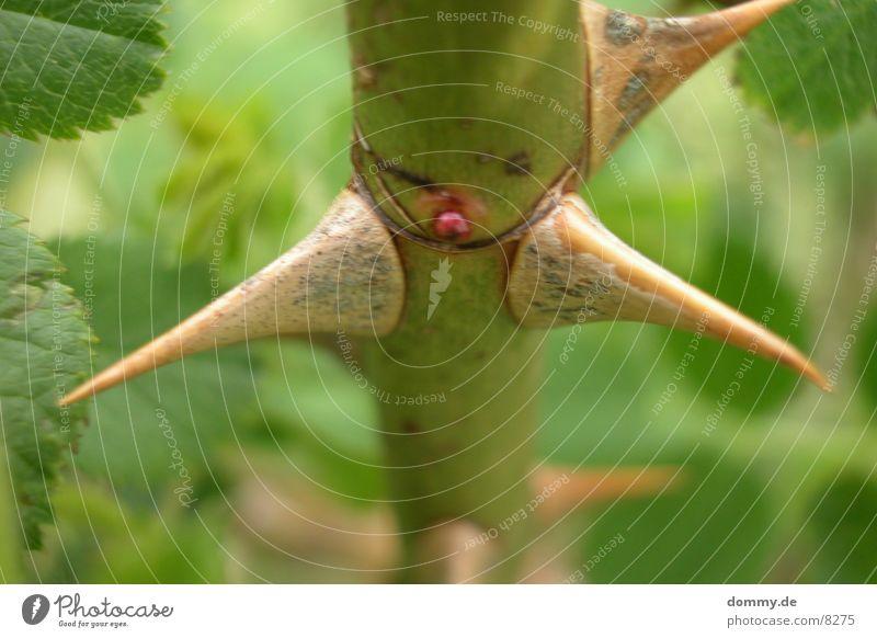 stachlig Natur grün Rose gefährlich Wildtier Stachel