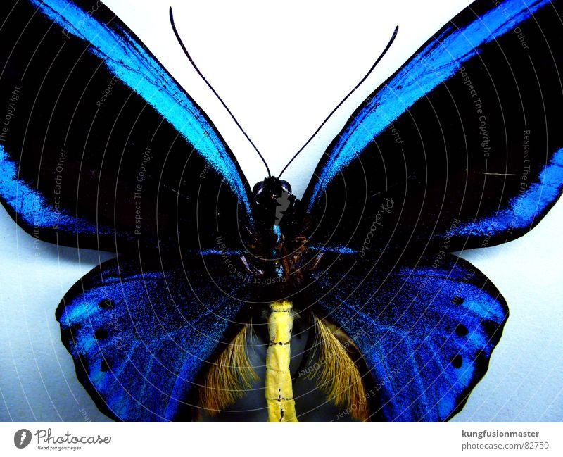 le blö smetterling blau Insekt Schmetterling Fühler filigran aufgespiesst
