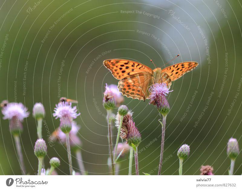 Mittagsmahl Sonne Umwelt Natur Pflanze Tier Sonnenlicht Sommer Blüte Wildpflanze Wildtier Fliege Schmetterling 3 Blühend Duft lecker schön süß ruhig Erholung