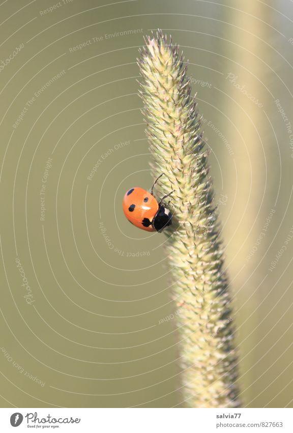happy hour ruhig Sommer Sonne Umwelt Natur Pflanze Tier Frühling Gras Grünpflanze Wiese Wildtier Käfer 1 Blühend festhalten frei niedlich positiv Wärme