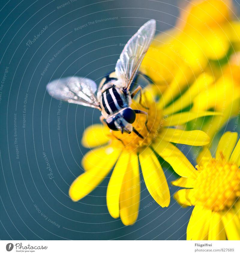 300 | ... und weiterfliegen Natur Pflanze gelb Blüte sitzen Flügel Streifen trinken Insekt Rüssel Nektar Schwebfliege