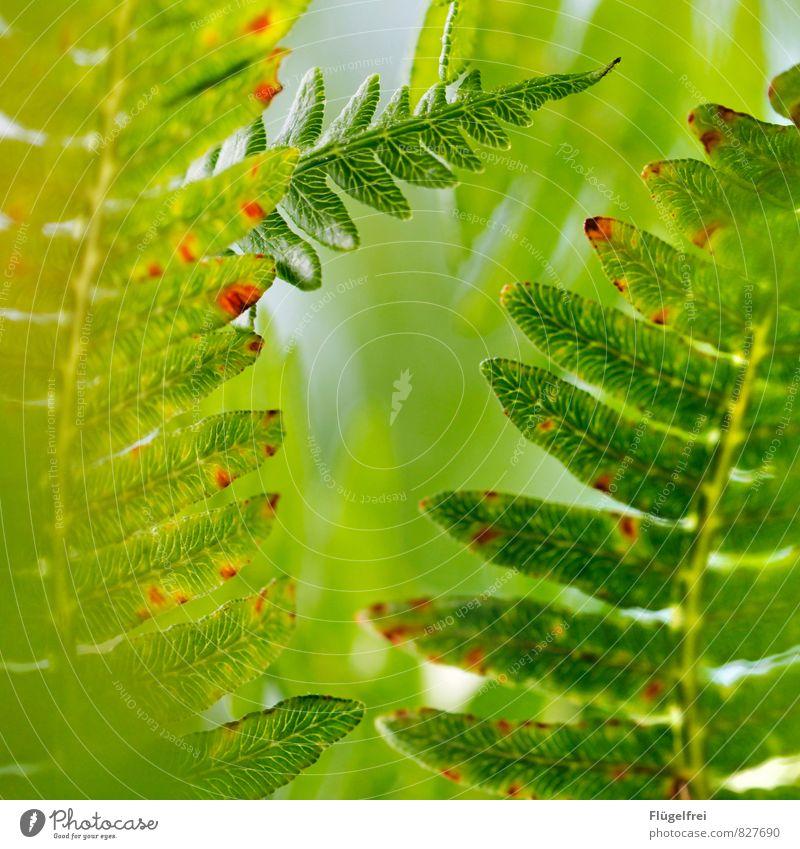 Farn Natur Pflanze grün Wald Wachstum Blätterdach
