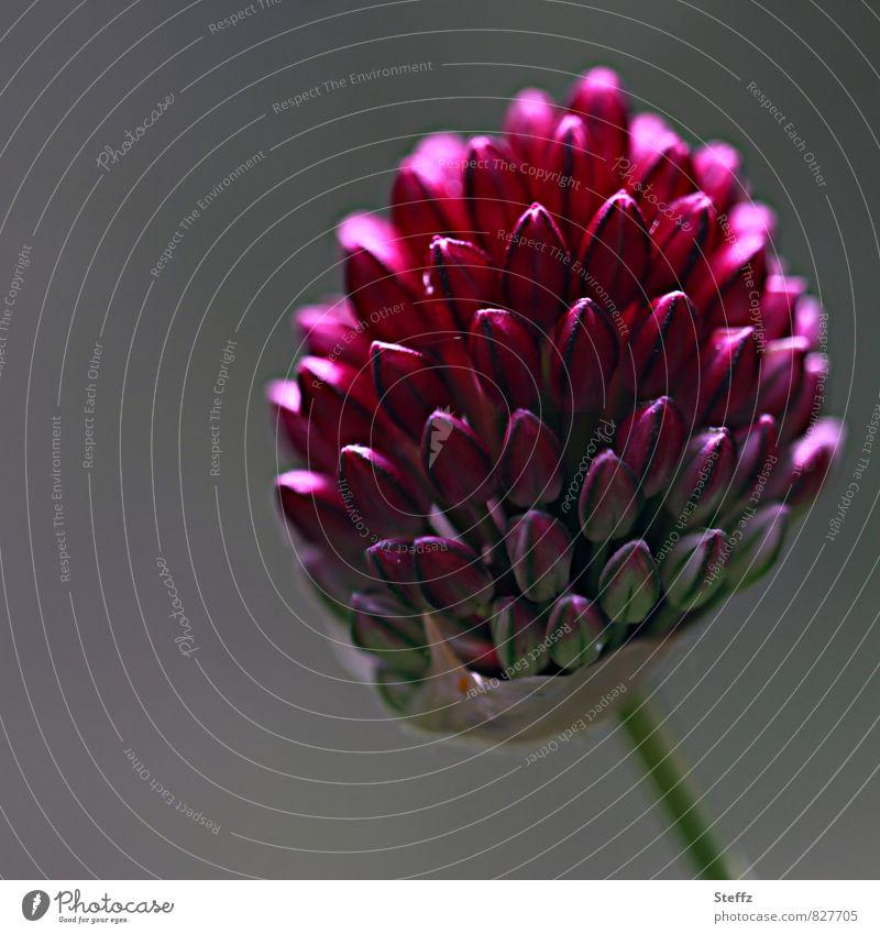 blühender Schnittlauch Schnittlauchblüte Allium Blütenknospen heimisch heimische Pflanze formvollendet Formvollendung besonderes Licht schönes Licht Sommerblüte