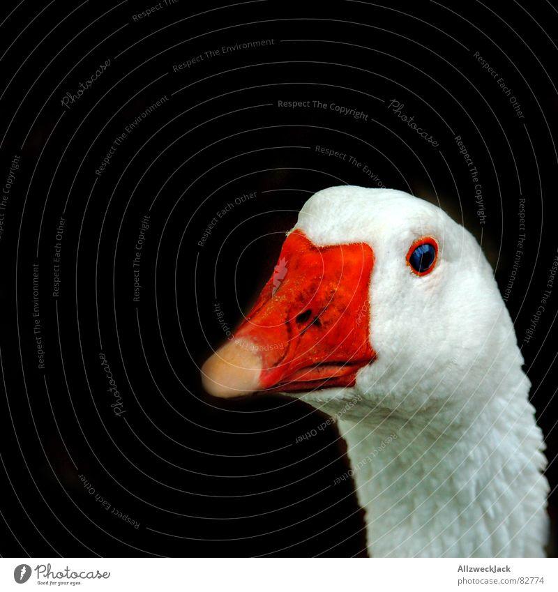 Ganz Gans Vogel orange Vertrauen Gänseblümchen Schnabel Gans Viehzucht Nutztier Federvieh Vieh Tier Vogelgrippe Vor dunklem Hintergrund