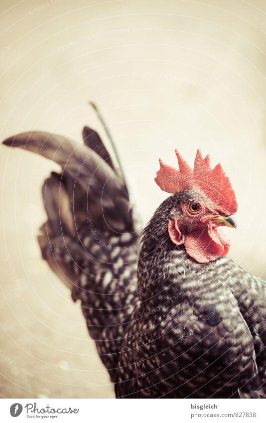 Hahn rot Tier braun Lebensmittel Vogel Ernährung Wachsamkeit Tiergesicht Nutztier Haushuhn achtsam Geflügel