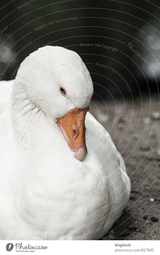 Gans weiß Tier Lebensmittel Vogel orange sitzen Ernährung Wachsamkeit Tiergesicht Müdigkeit Schnabel Gans achtsam Geflügel