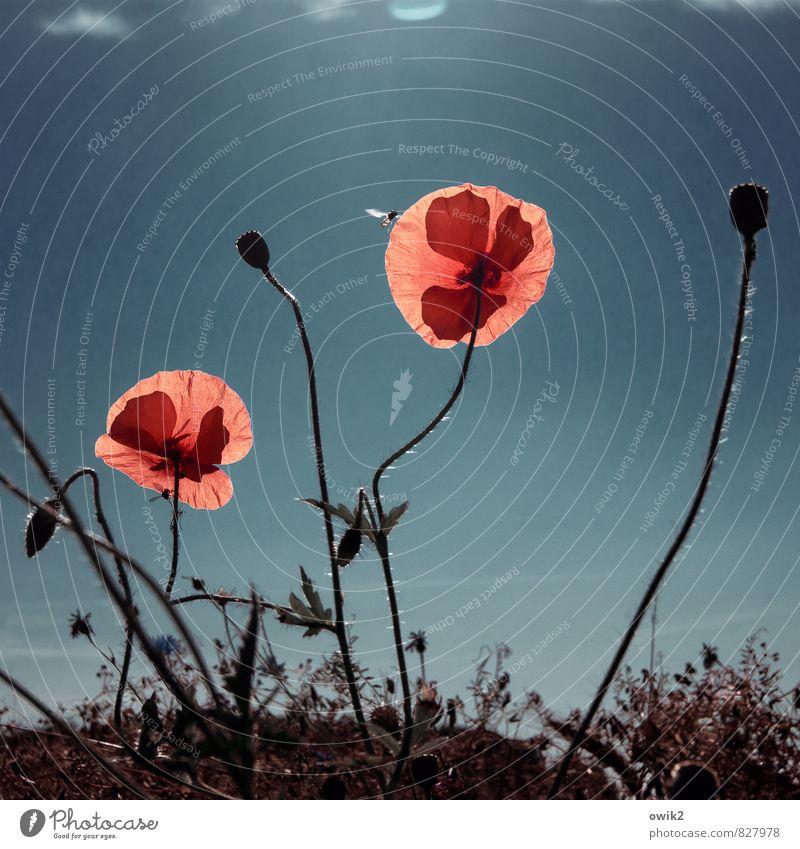 Wilde Blumen Umwelt Natur Pflanze Tier Luft Wolkenloser Himmel Klima Wetter Schönes Wetter Blüte Wildpflanze Mohnblüte Wespen 1 Bewegung leuchten Wachstum Duft