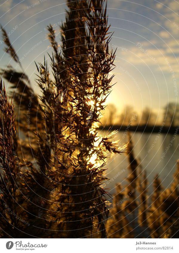 Im Licht Beleuchtung Binsen Gewöhnliche Schafgarbe See Gras Weizen Sonnenstrahlen Gegenlicht Sonnenuntergang Sonnenaufgang Halm Geäst Teich harmonisch ruhig